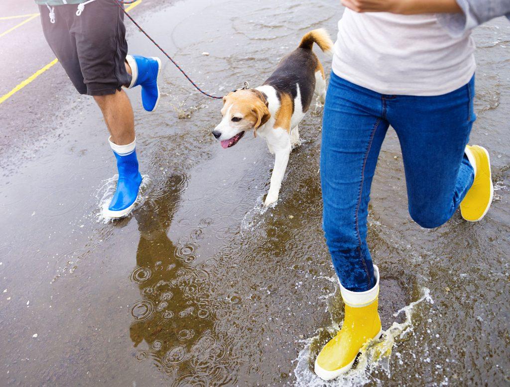 Ein Mann und eine Frau in Gummistiefeln laufen mit einem Beagle durch eine Pfütze