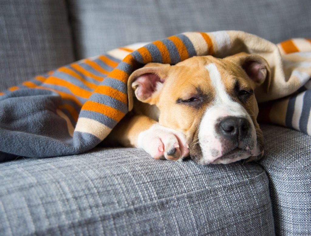 Hund liegt mit halb geschlossenen Augen auf einem Sofa unter einer Decke